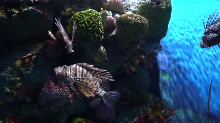 gestreept : Several lionfish, Pterois volitans at coral reef background in aquarium