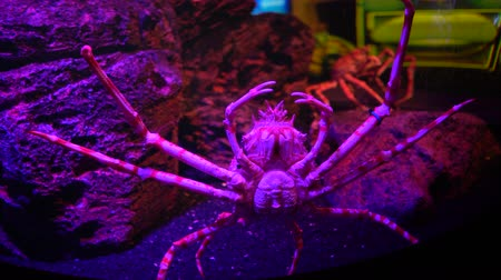 barışçı : The Japanese spider crab in fish tank with stones at background, close-up Stok Video