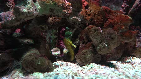 seahorse : Yellow seahorse floating between corals, close up