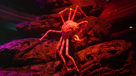 frightful : Huge Japanese Spider crab on the stones in red light Stock Footage