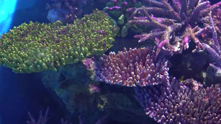 tropy : Exotic fish Angelfish float between colorful tropical corals