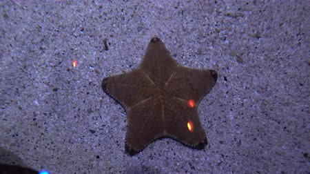 tropy : Starfish lying on the sandy bottom. Marine life close-up