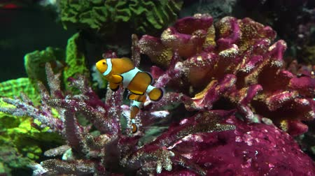 barışçı : A clown fish swims between corals. Marine life