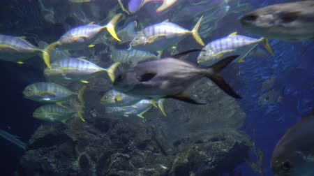 tail fin : A school of fish with yellow tails and fins. Tropical fish swims in blue water Stock Footage