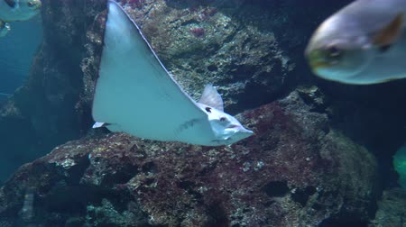 stingray : A large Stingray gracefully floating over the ledges of underwater rocks in clear water