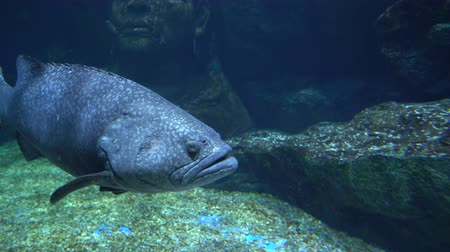 fish eye : Big grey fish with round eyes and large mouth swims over the stony bottom underwater
