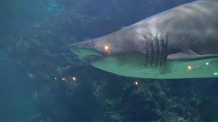a large shark swims among the coral at the bottom. angry aggressive animal in aquarium of Oceanarium