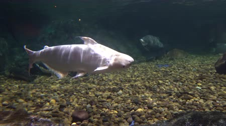 great white fish swims in the aquarium of Oceanarium