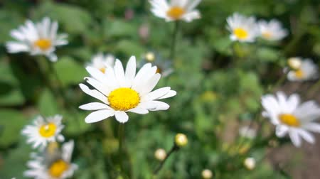 homeopathic : Slow motion, beautiful camomile bloom in the garden in the sun Stock Footage