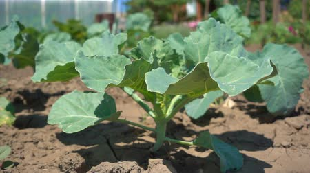 hydroponic : Green cabbage seedling on the dry soil background, slow motion. Cultivation of organic vegetables on the farm