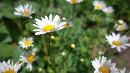 homeopathic : Chamomile flowers grow in the sun, slow motion. Beautiful blooming daisies with white petals on a green leaves and grass background Stock Footage