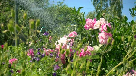 beatiful : Slow motion, watering blossoming peony on a Sunny day. Beautiful pink peonies bloomed in the garden