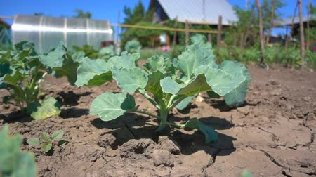 саженцы : Rows of green cabbage seedling growing in the sun on a hot day, slow motion