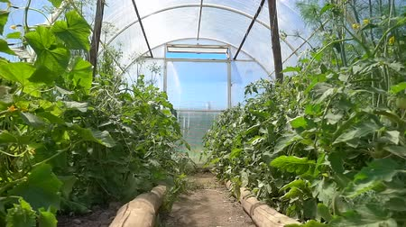 dioxid : Seedling of organic cucumbers and tomatoes growing in a greenhouse on the farm, slow motion