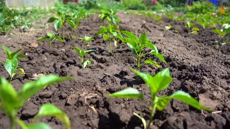 groene pepers : Growing organic vegetables on the farm. Neat rows of bell peppers grow in the sun