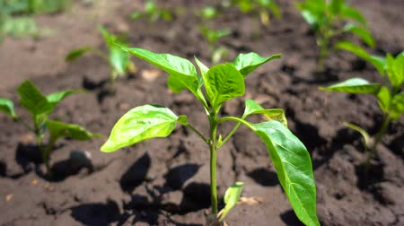 hydroponic : Organic pepper Bush growing in fertile soil on the farm, close-up Stock Footage