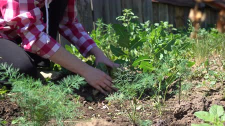 tlen : Farmer hands cleans weeds from the rows on a Sunny day, close-up Wideo