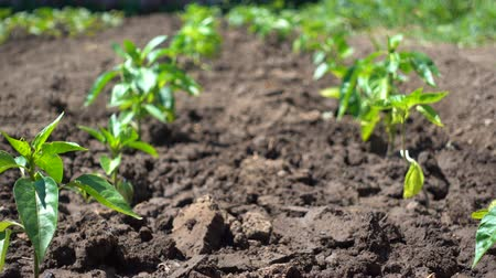 aliment : Neat rows of pepper bushes grow on the farm. Growing organic vegetables in the sun Stock Footage