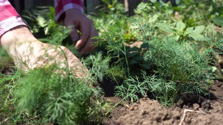 aliment : Farmer hands cleans rows of dill. Growing organic greens on a farm plot