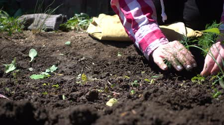 aliment : Farmer hands cleans the soil from weeds on a Sunny day Stock Footage