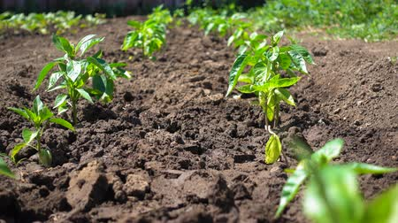 basilico : Growing organic bell peppers on farmland. Beautiful pepper seedling grow in the sun