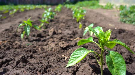 aliment : Rows of pepper seedling grow on fertile soil on an eco-friendly farm Stock Footage