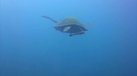 podwodny swiat : Hawksbill Sea turtle swimming at a distance Wideo
