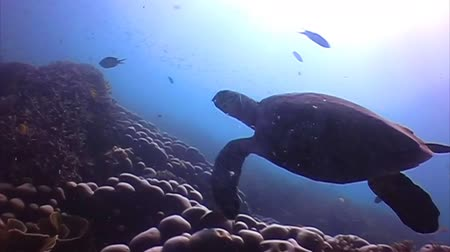 podwodny swiat : Hawksbill Sea turtle swimming away among the corals Wideo