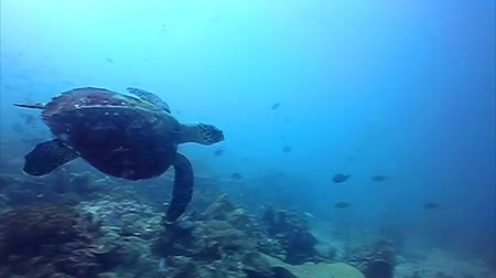 ortam : Hawksbill Sea turtle swimming away among the corals Stok Video