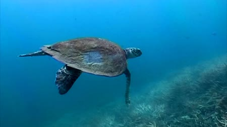 ekologia : Hawksbill Sea turtle swimming away among the corals Wideo