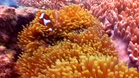 hluboký : Orange Clown fishes playing among anemone