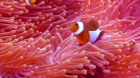 глубоко : Orange Clown fishes playing among anemone