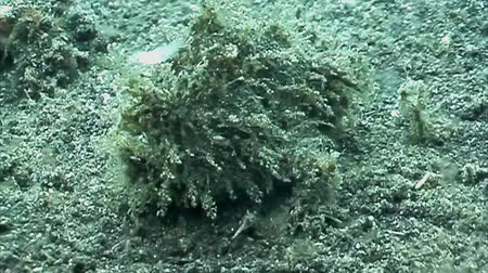 amfibi : A Frog fish Stok Video