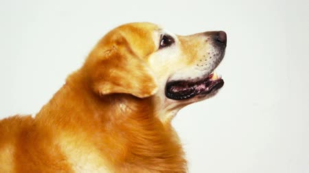 лабрадор : Side view of Golden Retriever on white