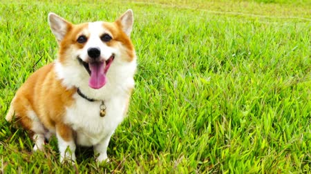 playing with a dog : Pembroke Welsh Corgi sitting down.