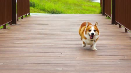playing with a dog : Pembroke Welsh Corgi running along a wooden bridge