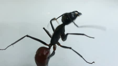 муравей : Black ant adjusting antennae against white background