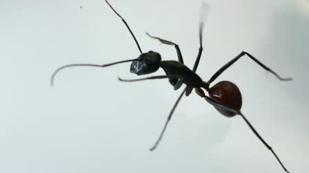 муравей : Black ant crawling against white background Стоковые видеозаписи