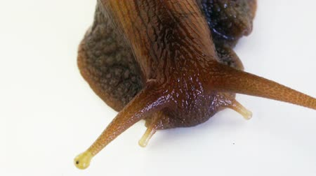 Extreme close up of a Giant African Land Snail moving towards camera on white background.