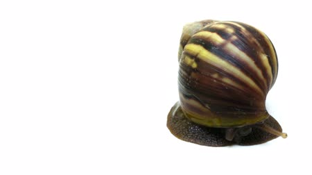 Front view of a Giant African Land Snail peeking around on the right side of the frame with white background.
