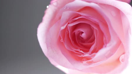bouquets : Pan right away from close up of a pink rose