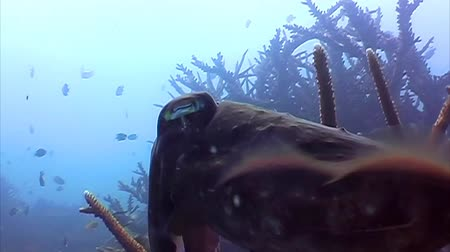 células : Live cuttlefish in the ocean