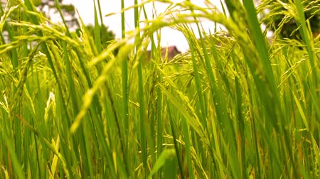 Paddy Field in front of a farm house Stok Video