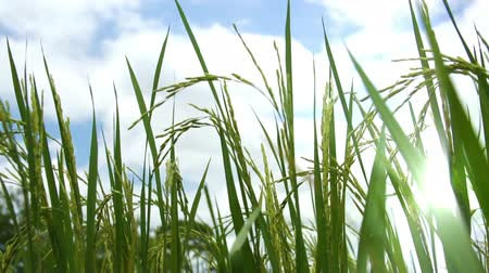 yasemin : Paddy Field against cloudy blue sky.