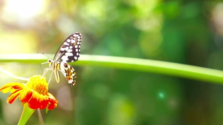 White spotted Butterfly (Chilasa Clytia) feeding on a pink daisy flower. Stok Video