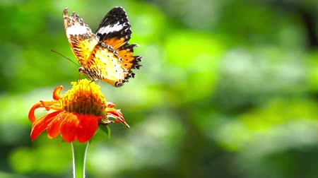 Looping frontal shot of Leopard Lacewing, Cethosia Cyane, butterfly feeding on a red daisy flower. Stok Video