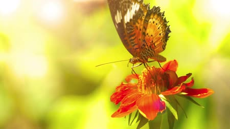 Side profile video of Leopard Lacewing, Cethosia Cyane, butterfly feeding on a red Daisy flower against sunset.