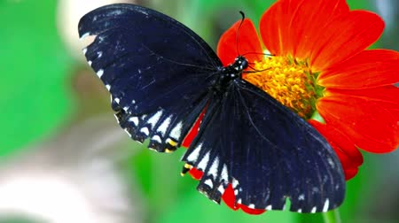 Black Butterfly with white spots, Common India Crow, Euploea Core feeding on a red Daisy flower. Stok Video