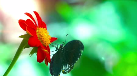 Black Butterfly with white spots, Common India Crow, Euploea Core feeding on a red daisy flower.