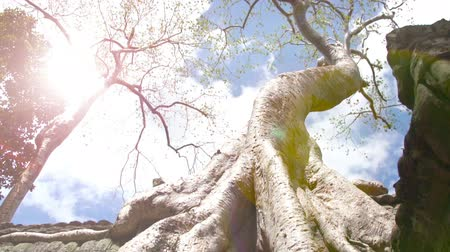Time lapse and zooming out of Giant Silk Cotton tree at Ta Prohm